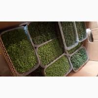 Микрозелень, микрогрин от производителя