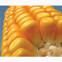Кукурудза на зерно ЛГ 3350 (LG 33.50)