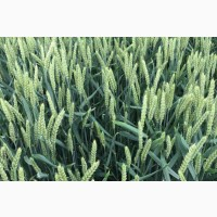 Посівний матеріал озимої пшениці ПРАКТІК (2репродукція)