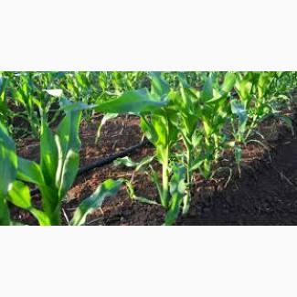 Купуємо кукурудзу фуражну