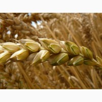 Куплю зерновые дорого