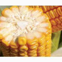 Кукурудза на силос ДЖОДІ (JODIE)