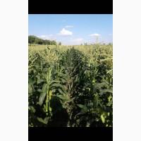 Продам кукурузу сахарную