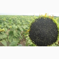 Семена подсолнечника Белла