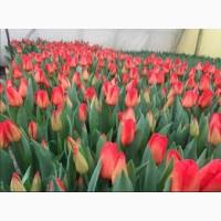 Розы тюльпаны оптом