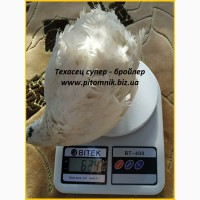 Инкубационные яйца перепелов