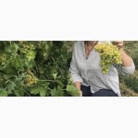 Продам виноград столовый