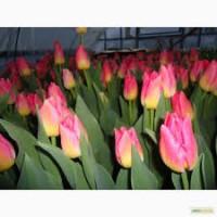 Тюльпаны оптом с доставкой цена 8 гривень