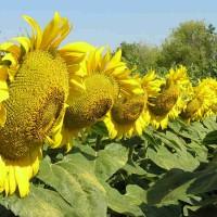 Семена подсолнечника Лиман OR, 113-118 дней