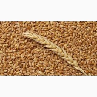 Можно сеять 10 лет подряд, клейковины 38%Семена пшеницы MASON