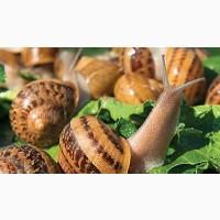 Продам оптом равликів Helix Aspersa Maxima 1-го класу равлики Київ