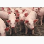 Свиньи.Поросята.Мясная порода