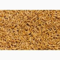 Насіння пшениці сорт Рання 93 1 репродукція