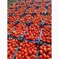 Реализуем помидор доставка в любой регион томаты оптом