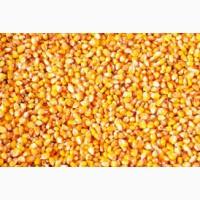Купимо кукурудзу фуражну. ОПТ. Вся Україна