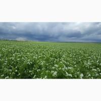 Посевной материал озимого гороха Мороз ( Сербия) семена урожая 2019 г