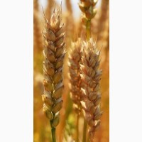 Продам посевной материал озимой пшеницы Безостая 100 (элита) Краснодарская селекция