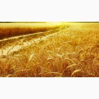 Куплю пшеницу 2-4 класс
