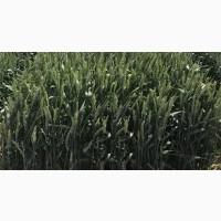 Пшениця озима ПАЛЯНИЦЯ, насіння озимої пшениці