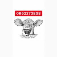 Закупаем на экспорт бычков